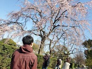 男性,1人,風景,空,公園,花,桜,屋外,サクラ,樹木,人,草木
