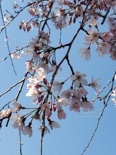 空,花,春,屋外,枝,樹木,草木,桜の花,さくら
