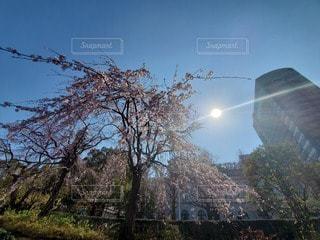 空,桜,屋外,ピンク,青空,サクラ,樹木,空と桜
