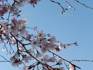 空,花,春,桜,屋外,サクラ,樹木,草木,ブロッサム