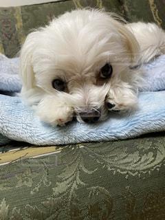 犬,動物,屋内,白,かわいい,ソファー,毛布,子犬,マルチーズ,オス,飼い犬,フワフワ