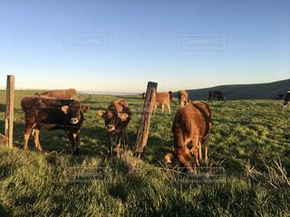 自然,風景,空,動物,屋外,草原,牛,田舎,牧場,景色,草,のんびり,カリフォルニア,草木,日中,ウシ,ファーム,cow