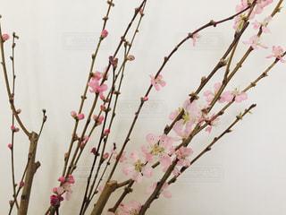 梅の蕾と花の写真・画像素材[3019451]