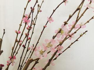 梅の花と蕾の写真・画像素材[3019542]