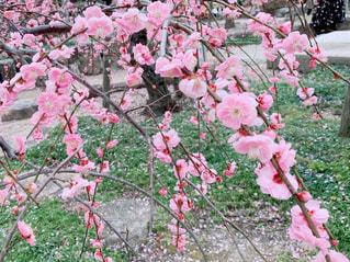 梅の写真・画像素材[3019611]