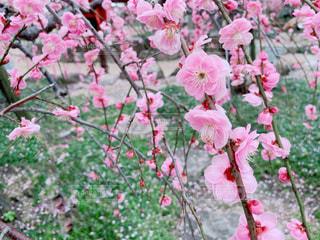 梅の写真・画像素材[3019645]