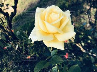 薔薇の写真・画像素材[3027245]