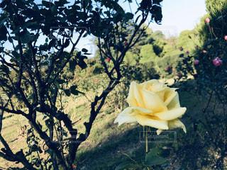 空,花,お花畑,屋外,綺麗,青空,黄色,バラ,ドライフラワー,鮮やか,ガーデニング,薔薇,樹木,植物園,草木,お出かけ,プリザーブドフラワー,フォトジェニック,インスタ映え