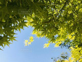 晴れた日の青紅葉の写真・画像素材[3027247]