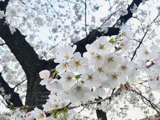 家族,恋人,花,春,ピンク,鮮やか,満開,樹木,草木,桜の花,桜の木,さくら,フォトジェニック,ブルーム,ぴんく,ブロッサム,インスタ映え