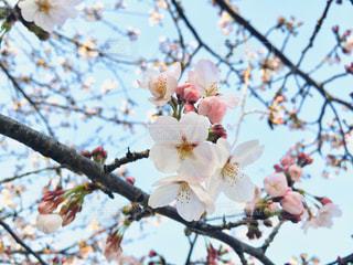 家族,恋人,空,花,春,屋外,ピンク,枝,鮮やか,樹木,草木,桜の花,桜の木,さくら,フォトジェニック,ブルーム,ぴんく,ブロッサム,インスタ映え,晴れた空青空