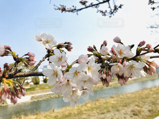空,花,春,屋外,ピンク,鮮やか,河原,草,たくさん,草木,桜の木,春休み,フォトジェニック,ブルーム,ぴんく,ブロッサム,インスタ映え,晴れた空