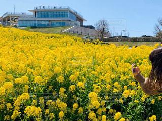 空,花,お花畑,屋外,黄色,菜の花,景色,鮮やか,ピクニック,草木,春休み,日中,フォトジェニック,インスタ映え,カメラ撮影中