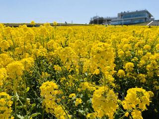 菜の花畑の写真・画像素材[3043466]