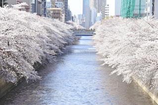 春,桜並木,中目黒