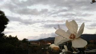 夕暮れ時の白い花の写真・画像素材[3026694]