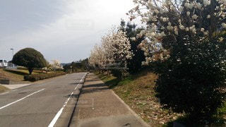 ハクモクレンの並木道の写真・画像素材[3028656]