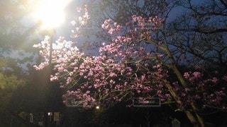 自然,風景,花,春,夜,木,屋外,ピンク,植物,暗い,花びら,樹木,灯り,眩しい,街灯,照明,明かり,夜間,金属,LED,コントラスト,人工物,3月,照らす,鉄製,防犯灯