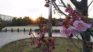 自然,風景,空,公園,花,春,桜,木,屋外,ピンク,太陽,緑,植物,夕焼け,夕暮れ,夕方,景色,花びら,子供,オレンジ,サクラ,樹木,つぼみ,コンクリート,柵,憩い,地面,金属,蕾,夕陽,運動場,グラウンド,夕焼け空,人工物,無機質,草木,グランド,3月,ソメイヨシノ,さくら,ブロッサム,インターロッキング,宵時