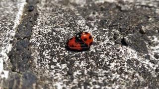 自然,春,動物,屋外,赤,かわいい,親子,晴れ,晴天,黒,仲良し,虫,夫婦,水玉,コンクリート,愛,テントウムシ,昆虫,地面,てんとう虫,灰色,人工物,交尾,3月,構造物,固い,重なる,2階立て,テントウ虫,2段重ね,小作り