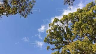 自然,風景,春,木,屋外,森,緑,植物,白,雲,晴れ,青空,晴天,青,青い空,水色,景色,樹木,昼,昼間,青い,クスノキ,草木,高い,日中,黄緑,クラウド,流れる,楠木,くすのき,春空