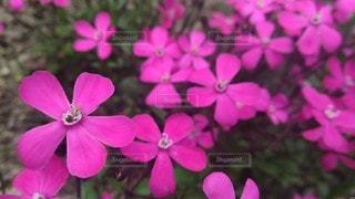 自然,風景,花,花畑,屋外,ピンク,緑,植物,かわいい,綺麗,晴れ,晴天,紫,景色,花びら,鮮やか,草花,可愛い,花壇,昼,昼間,赤紫,日中,キレイ