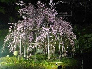 自然,風景,花,桜,夜,夜景,木,屋外,ピンク,緑,植物,枝,城,しだれ桜,花見,景色,ライト,花びら,サクラ,満開,草,樹木,ライトアップ,照明,闇,夜間,和歌山城,和歌山,石垣,枝垂れ桜,さくら,咲く,照らす