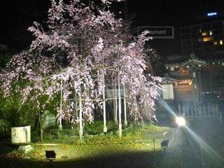夜の枝垂れ桜の写真・画像素材[3056883]