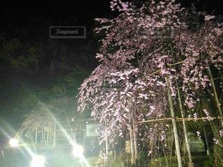 夜の枝垂れ桜の写真・画像素材[3056880]