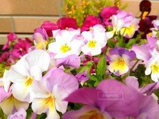 咲き並ぶパンジーの写真・画像素材[3060827]