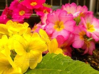 水滴と花の写真・画像素材[3060828]