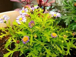 鉢植えの花の写真・画像素材[3060829]