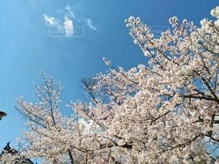 サクラと空の写真・画像素材[3077813]