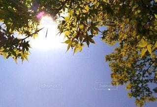 カエデと日差しの写真・画像素材[3088433]