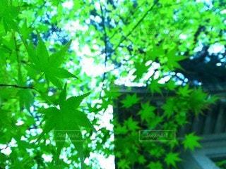 新緑のカエデの写真・画像素材[3088434]