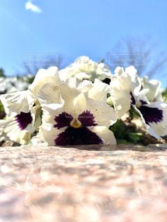 自然,公園,花,春,白,かわいい,景色,癒し,可愛い,花壇,たくさん,パンジー,加工,草木