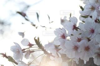 花,春,さくら,ブロッサム,エモ