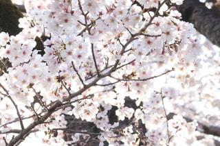 春,桜,花びら,満開