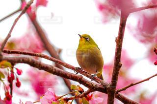 花,春,桜,鳥,屋外,ピンク,鮮やか,見上げる,メジロ,カラー,ブロッサム