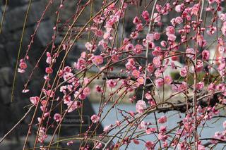 木の上のピンクの花のグループの写真・画像素材[3023437]