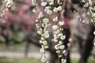 大阪城公園梅林の写真・画像素材[3023436]