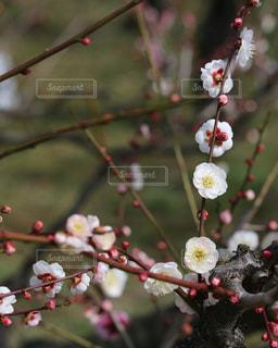 大阪城公園梅林の写真・画像素材[3023435]