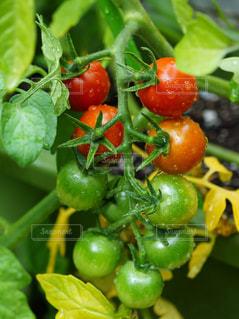 トマトのクローズアップの写真・画像素材[3039418]