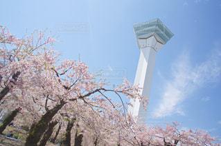 五稜郭タワーと桜の写真・画像素材[3042074]