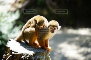 岩の上に座っている猿の写真・画像素材[3042400]