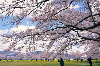 桜と菜の花の写真・画像素材[3085371]