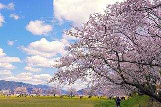 桜並木の写真・画像素材[3085374]