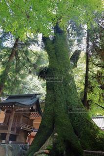 森の中の大きな木の写真・画像素材[3155097]