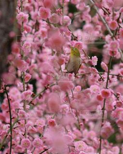 梅の写真・画像素材[4228335]