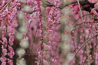 城南宮の枝垂れ梅の写真・画像素材[4228337]